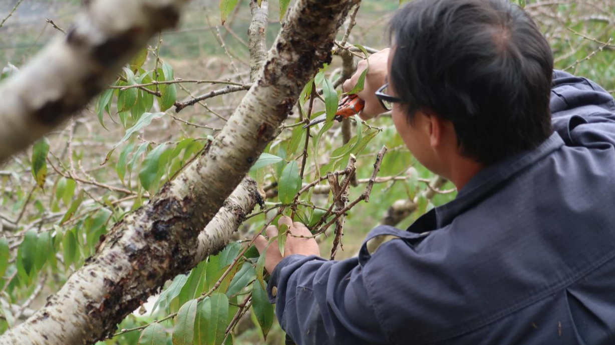 Yellow peach industry chain brings prosperity to a mountain village