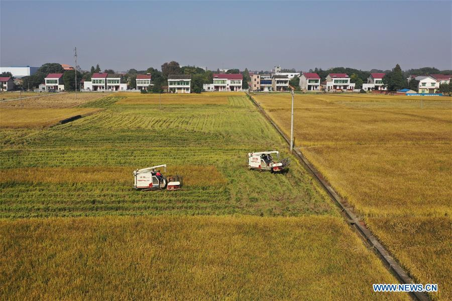 Farmers harvest paddy rice in central China's Hunan