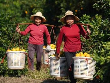 Farmers harvest navel oranges in Ganzhou, Jiangxi