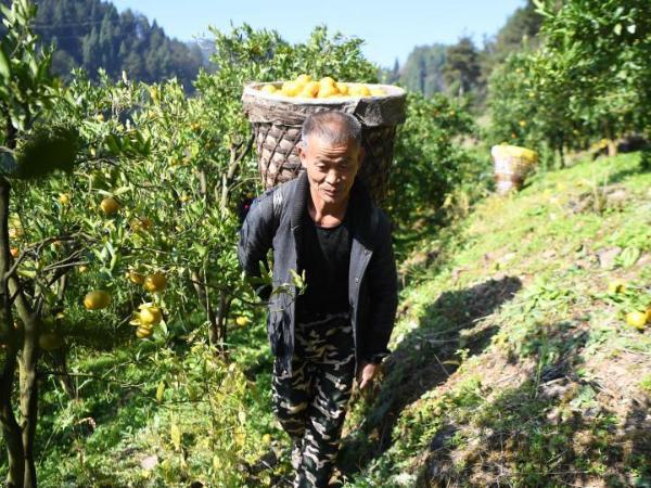 Tangerine planting industry developed in Hunan