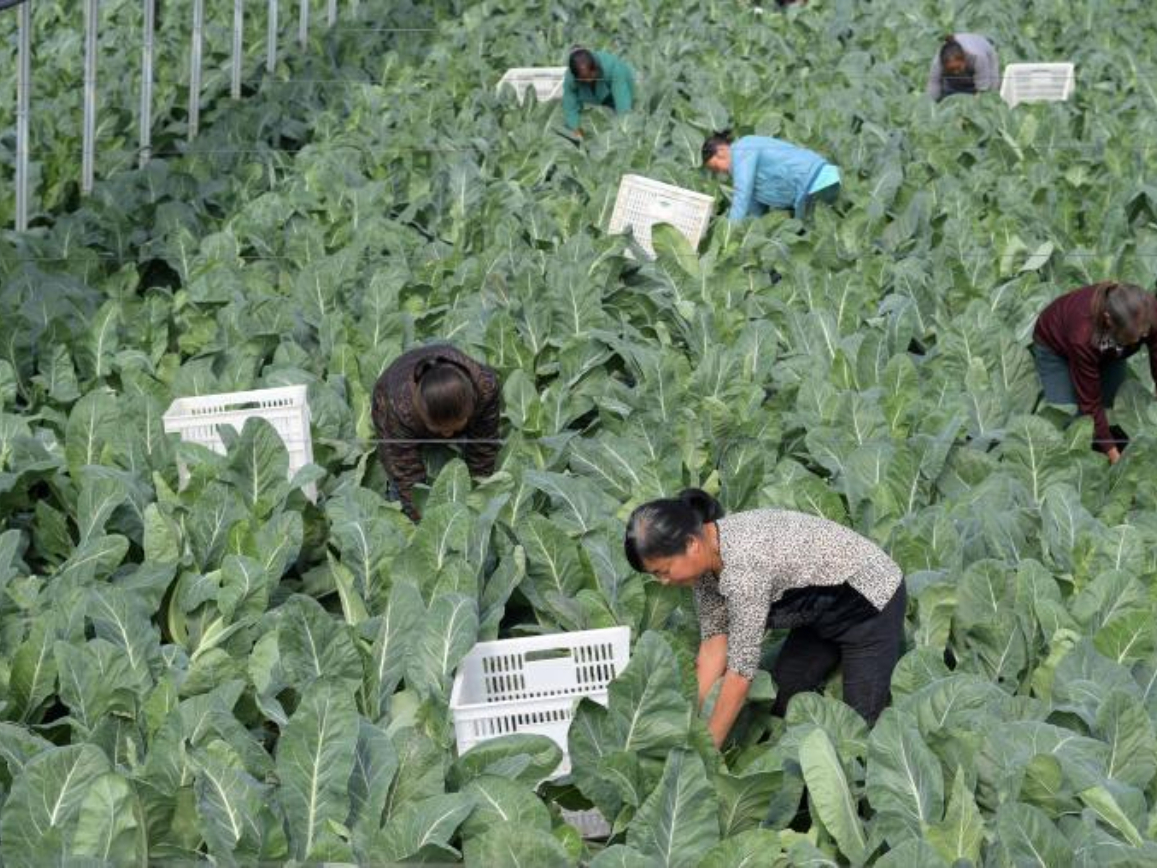 Farmers develop agricultural mode to increase incomes in Yuping Dong Autonomous County, Guizhou