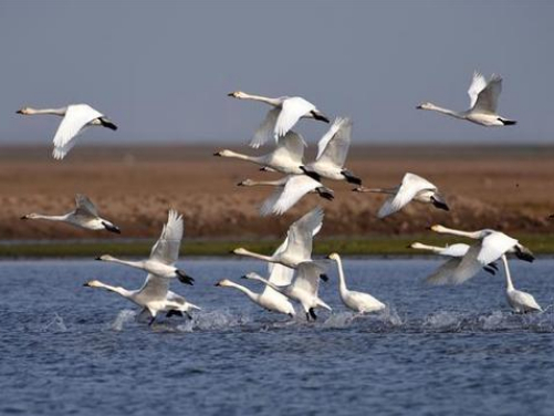 Over 3,000 swans flock to China's second-largest freshwater lake