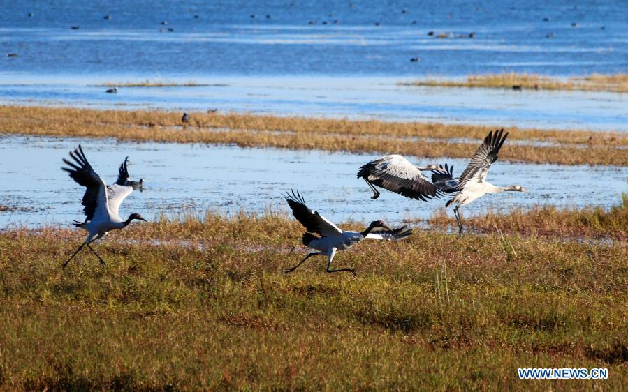 Black-necked cranes hover over nature reserve