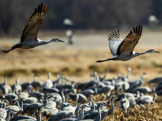 Sandhill cranes seen at Jasper-Pulaski Fish & Wildlife Area in Indiana, US