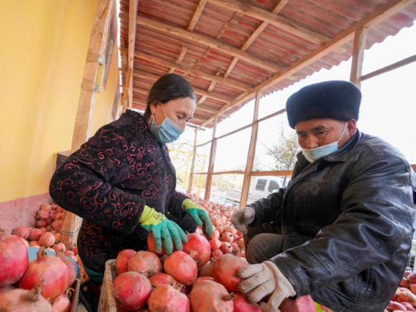 Pomegranate planting increases people's income in Hotan, Xinjiang
