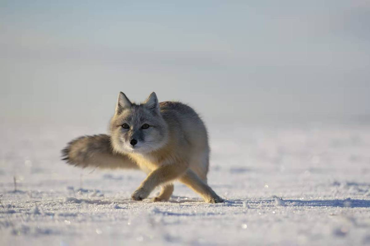 Endangered foxes photographed in Inner Mongolia