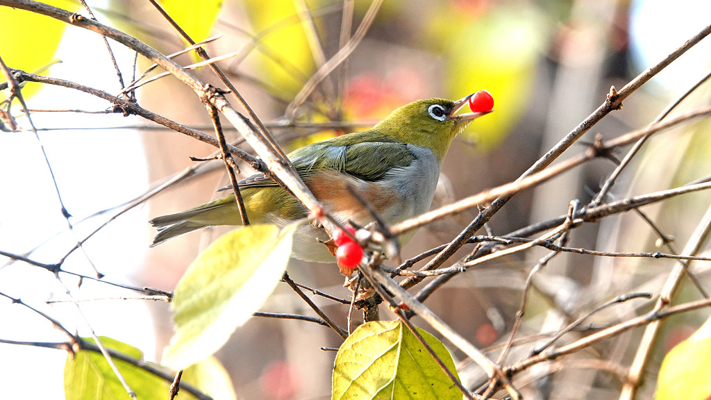 Warbling white-eye enjoys a feast at Beijing's Temple of Heaven