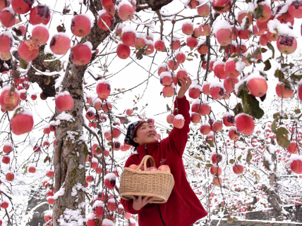 'Snow apples' harvested in East China