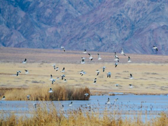 Tens of thousands of wild birds overwinter in NW China's Qinghai