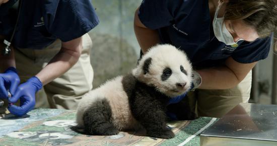 Giant panda cub 'Xiao Qi Ji' takes first steps