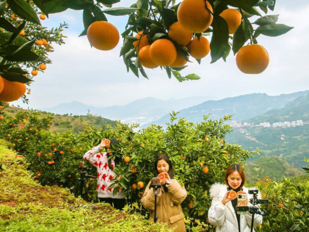 Online live-streaming helps orange planters improve incomes in Hubei