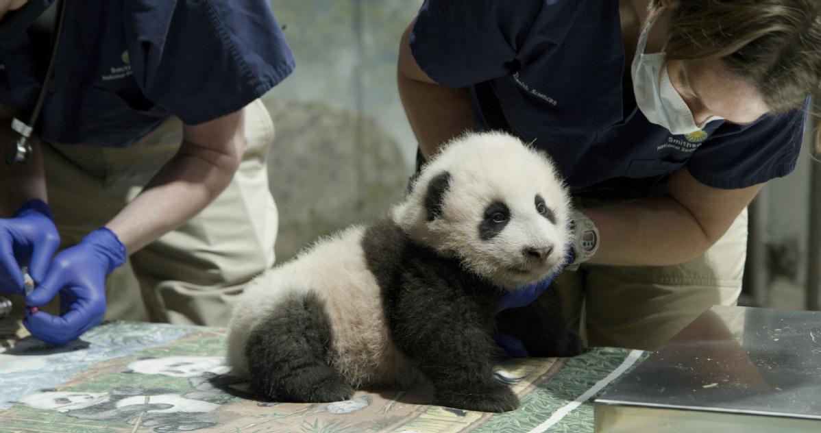 Giant panda cub 'Xiao Qi Ji' takes first steps -- US zoo