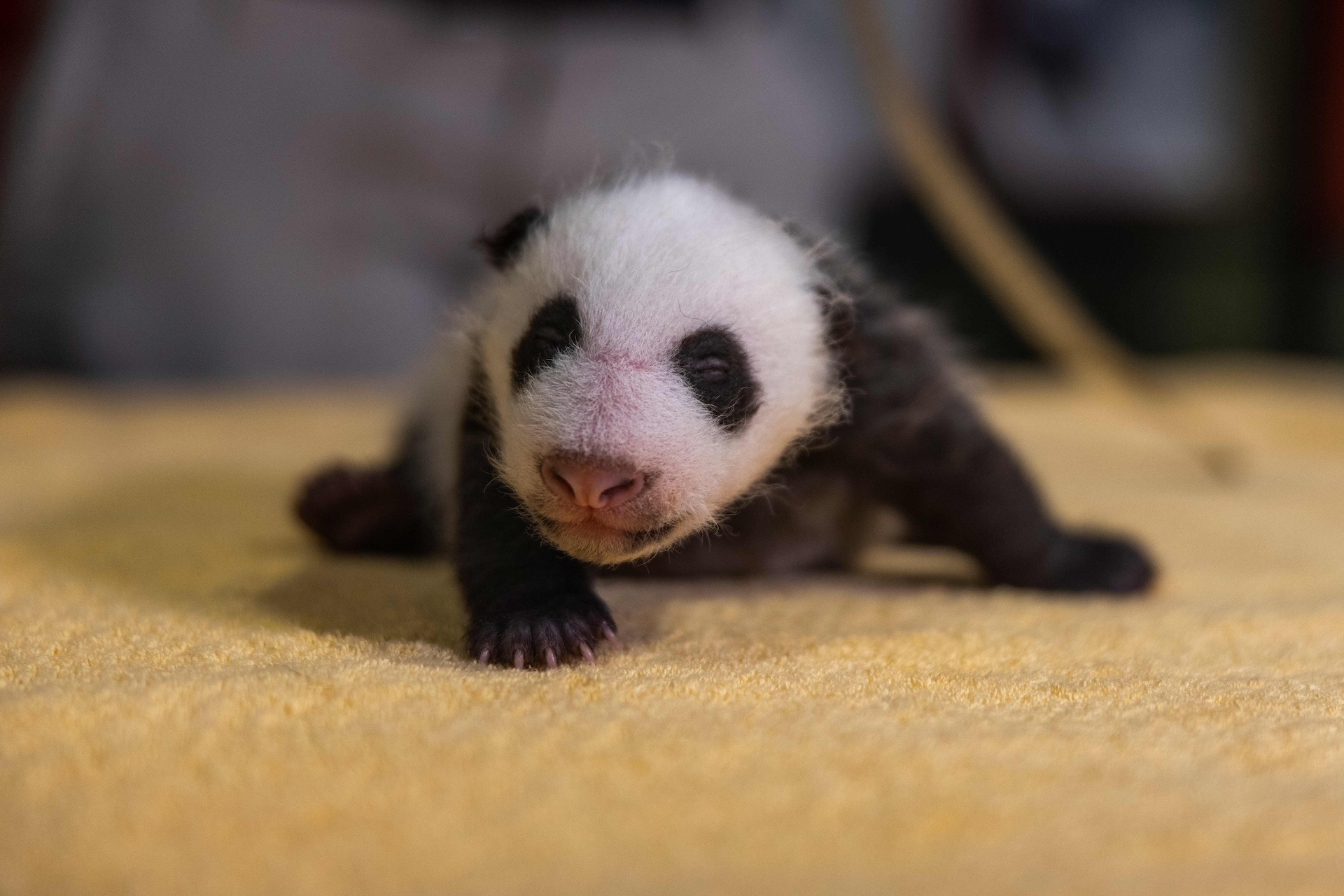 US zoo extends giant panda research deal with Chinese partner
