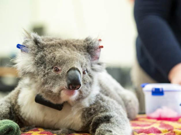 Koalas return to Aussie wild after being rescued from bushfires