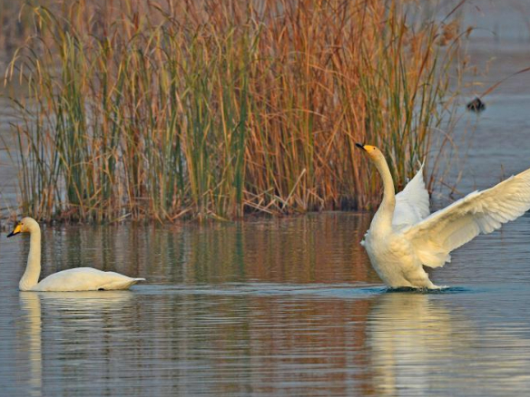 Swans seen at wetland in Shahe City, Hebei