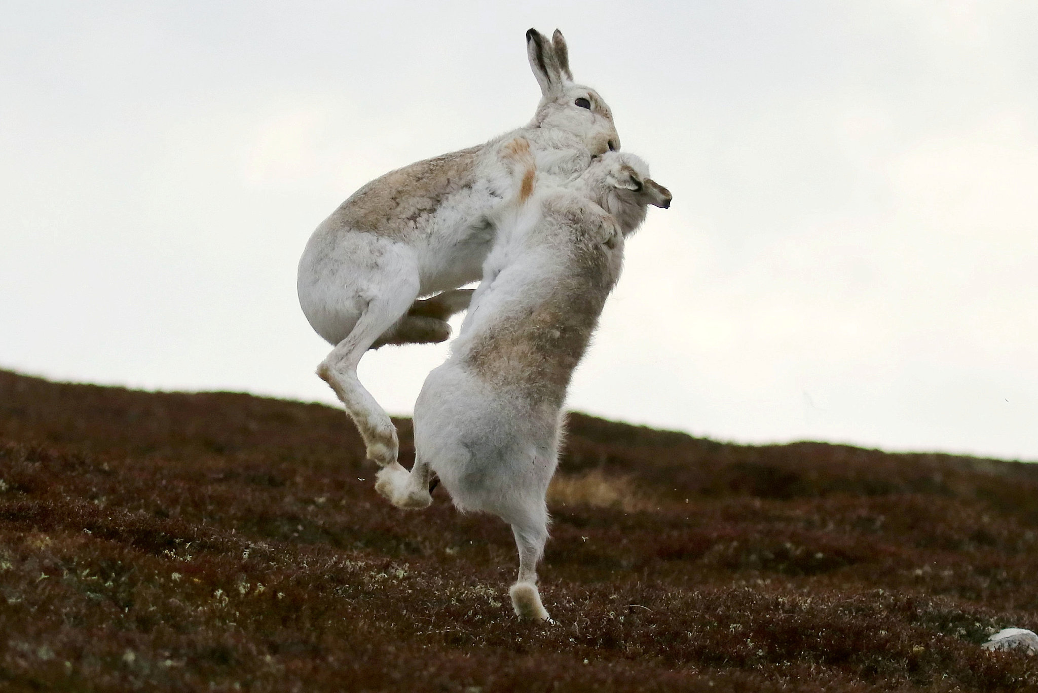 The intense boxing game between two hares