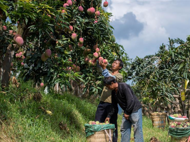 Mangos lift Yunnan village out of poverty