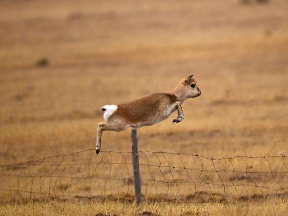 Przewalski's gazelles seen on grassland in Qinghai