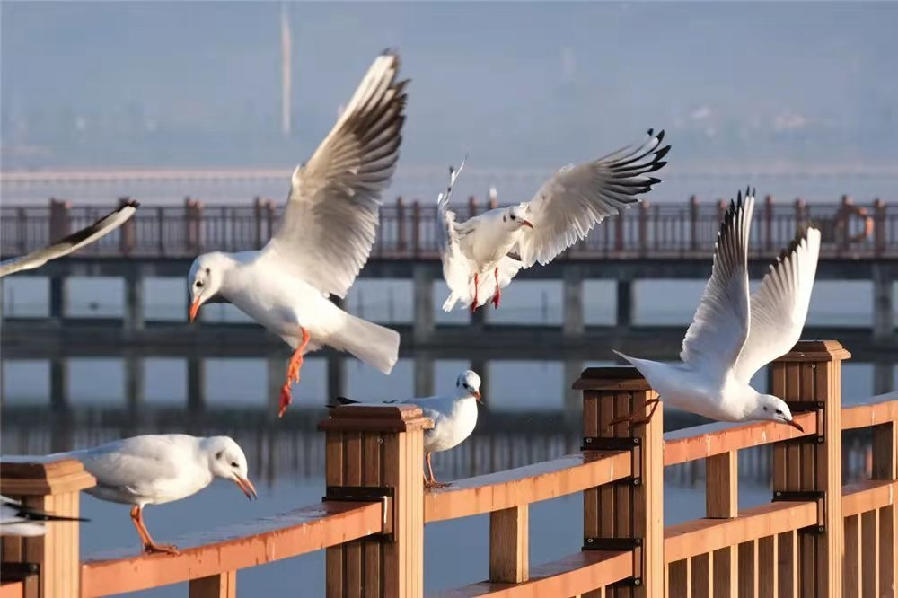 Gulls from Siberia take a vacation in Yunnan
