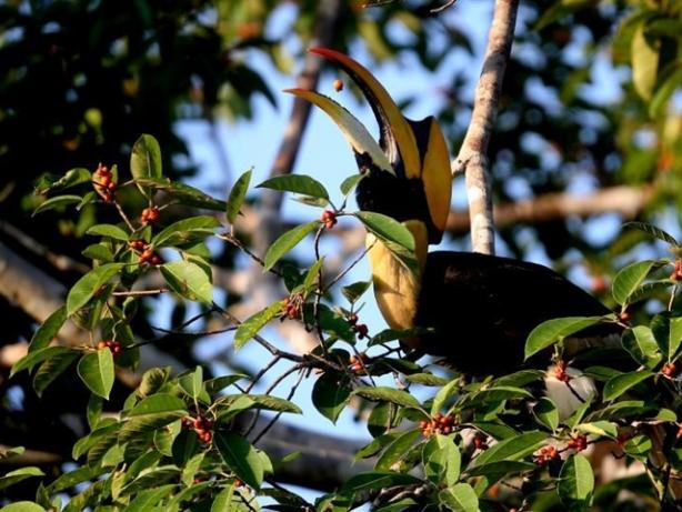 Great hornbill seen in Bago Region, Myanmar