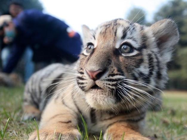 Tiger triplets make debut at Yangzhou Zoo