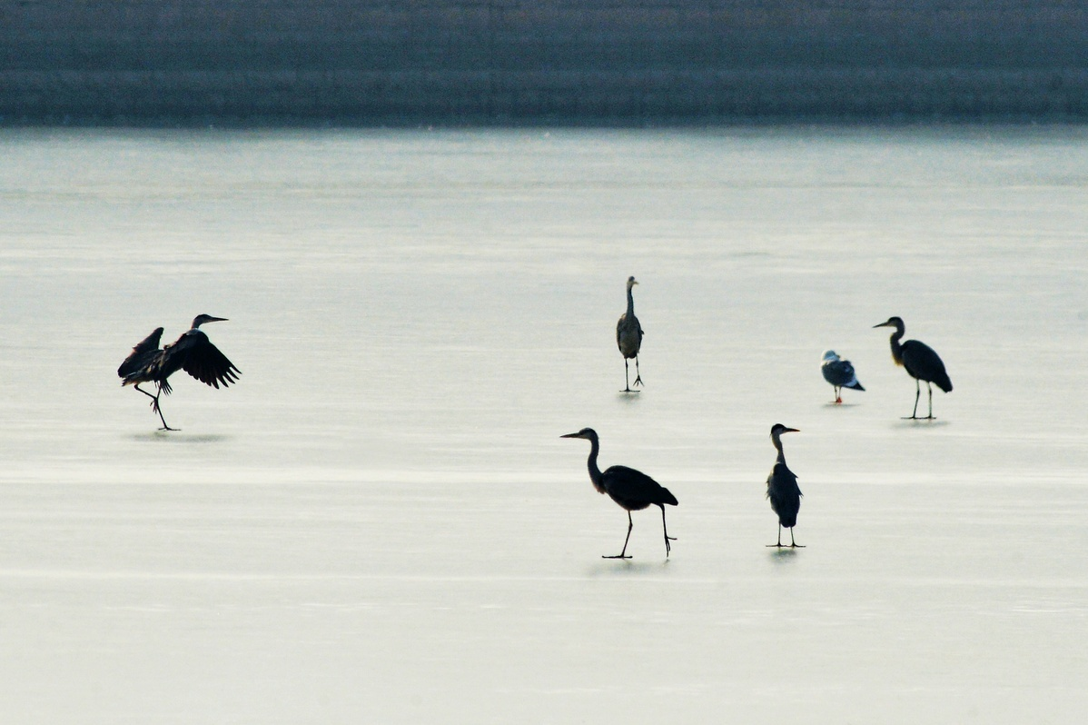 Water birds gather at frozen river in Qingdao
