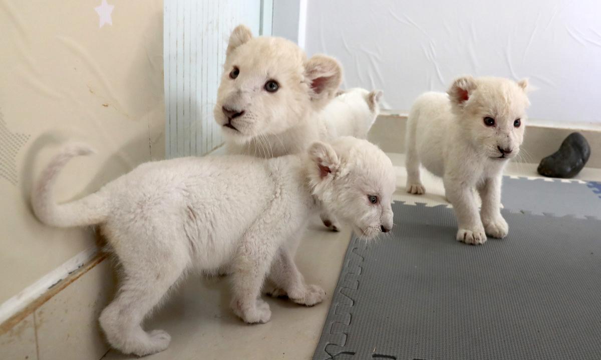 White lion quadruplets make debut in Nantong