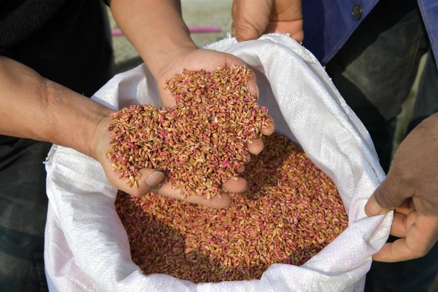 China to build gene pool of farm seeds