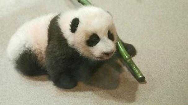 Giant panda cub Xiao Qi Ji gets 'stronger, more coordinated,' says US zoo