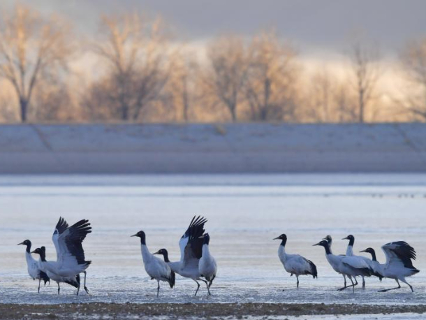 Black-necked cranes rest at reservoir in Lhunzhub County, Lhasa