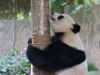 Giant pandas play at Hainan Tropical Wildlife Park and Botanical Garden in Haikou
