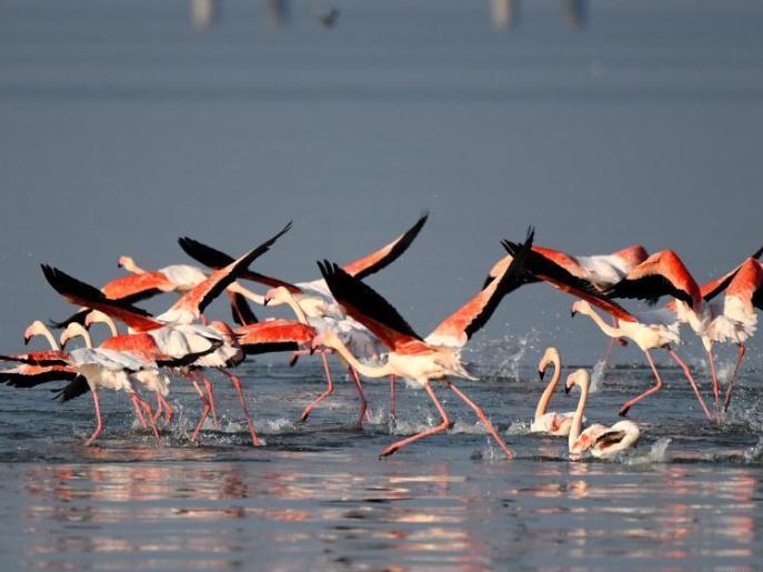 Flamingoes seen in Kuwait City, Kuwait