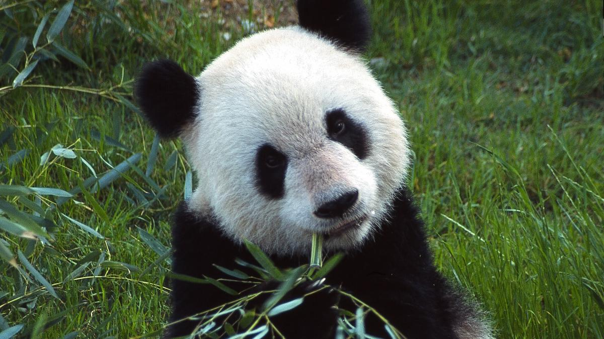 US Memphis zoo says giant pandas 'healthy' amid concern over their conditions