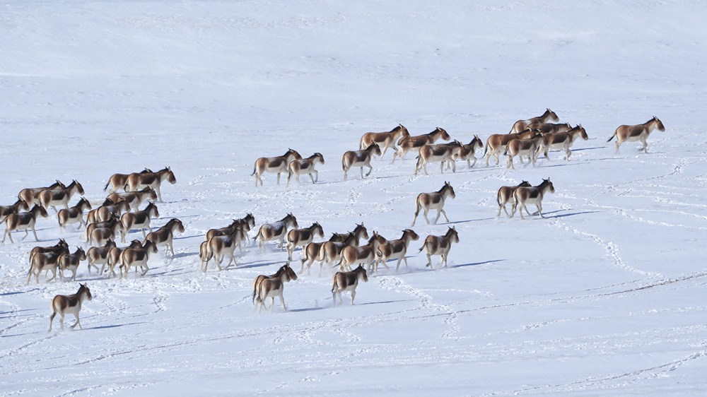 Rare kiangs forage after snowfall in plateau of Northwest China