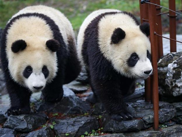 Pairi Daiza zoo hosts five giant pandas in Brugelette, Belgium