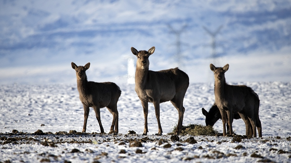Wild red deer in NW China receive fodder from local authorities