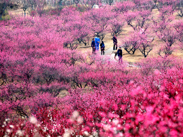 Plum blossoms welcome Chinese New Year in East China