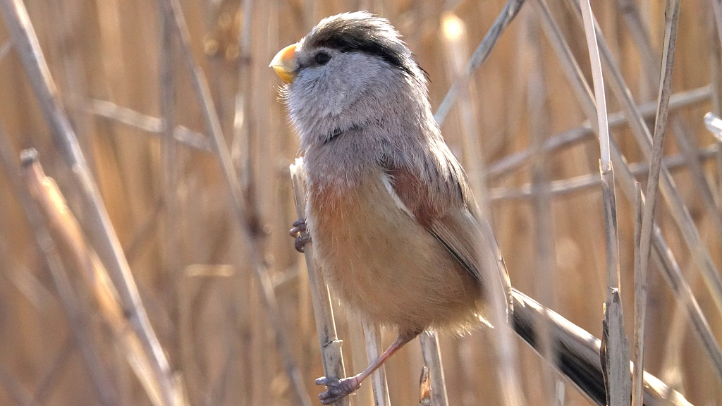 Endangered reed parrotbill spotted in Beijing