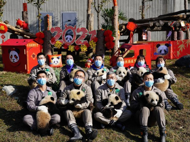 Giant panda cubs play in Wolong National Nature Reserve amid festive atmosphere