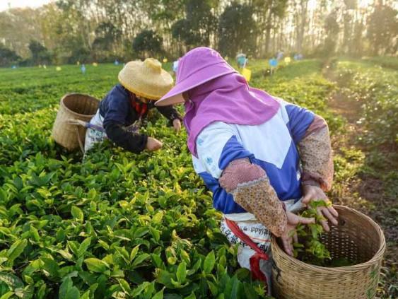 Farmers pick tea leaves at tea garden in Hainan