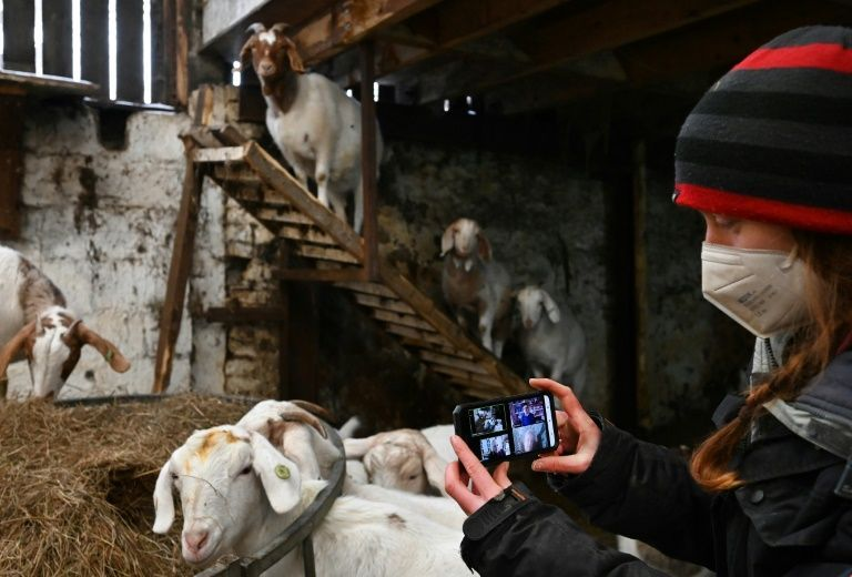 No kidding: video calls with goats boost British farm