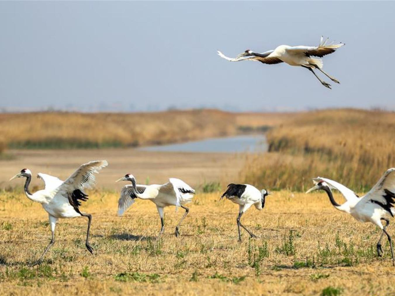 Bohai Sea wetlands, coastline restored in NE China