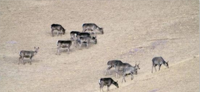 Red deer spotted in China's Qilian Mountains