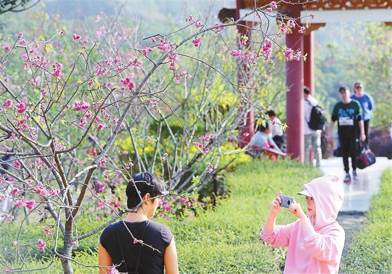 Cherry blossoms in botanical garden