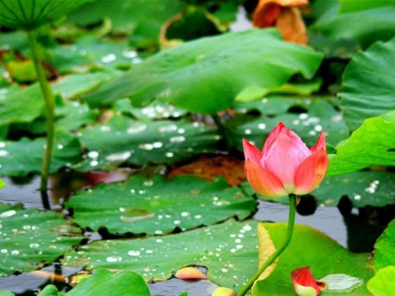 Chinese researchers share lotus gene database