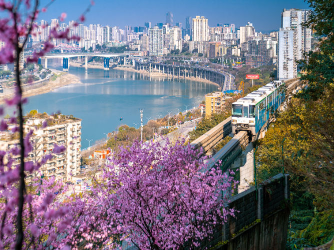 Monorail train passes through a sea of pink flowers in  SW China's Chongqing