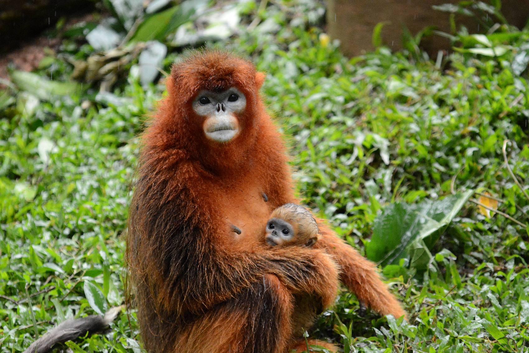Face recognition tech for golden monkeys under development