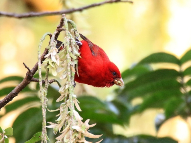 Rare scarlet finches swoop down on Southwest China's Gaoligong Mountain