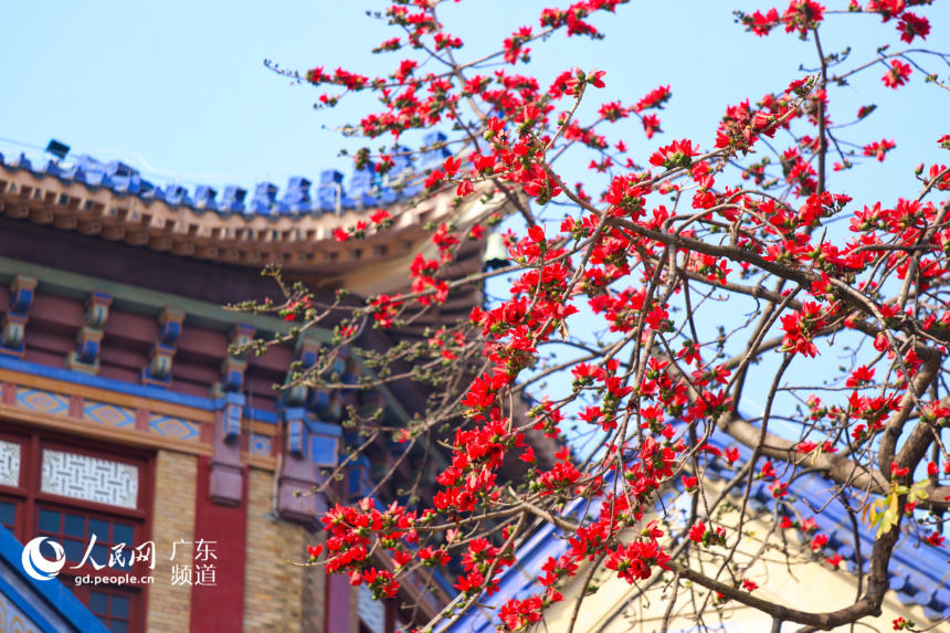 Red Kapok flowers in full bloom in S China's Guangzhou City