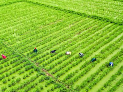 Wild rice stem fields vitalize Central China's Hunan